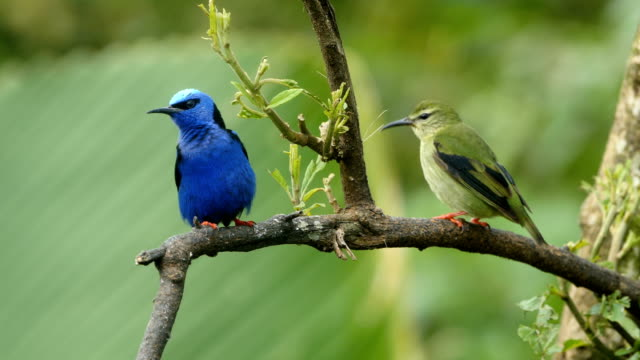 Red-legged Honeycreeper Feeding (Cyanerpes cyaneus),  a small songbird species in the tanager family .