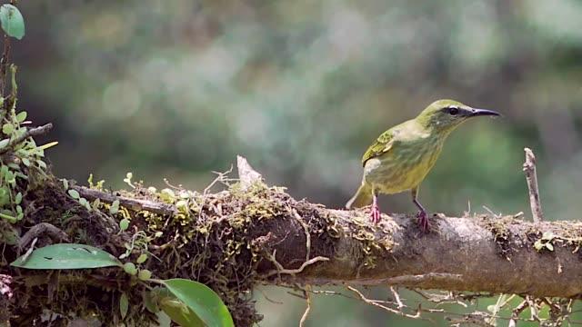 red-legged honeycreeper, female, on branch, laguna del lagarto lodge, costa rica - animal attribute stock videos and b-roll footage