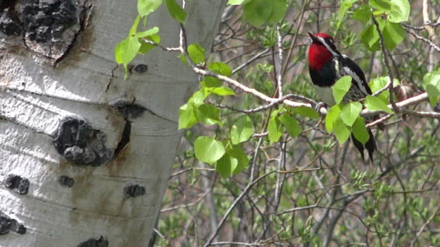 red-naped sapsucker in aspen tree, spring in yellowstone national park, wyoming - aspen tree stock videos & royalty-free footage
