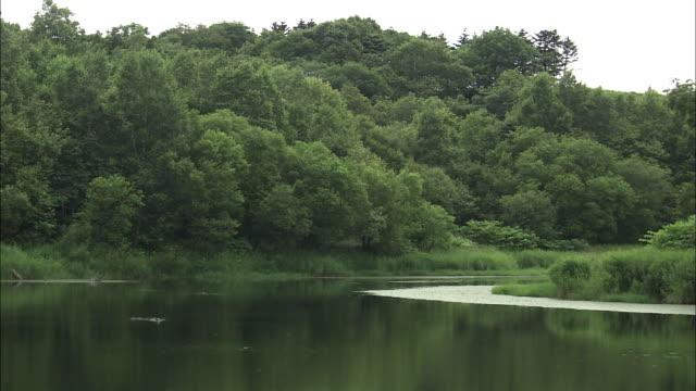 red-necked grebe (podiceps grisegena) of sarobetsu,hokkaido - wilderness stock videos & royalty-free footage