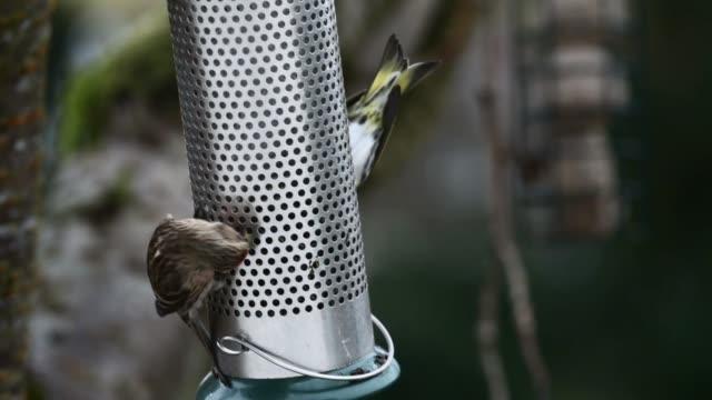redpolls feeding in winter. - david johnson stock videos & royalty-free footage