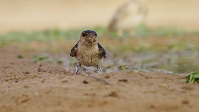 red-rumped swallow - songbird stock videos & royalty-free footage