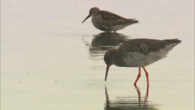 redshank (tringa totanus) feeding in marsh, norfolk, uk - クサシギ属点の映像素材/bロール
