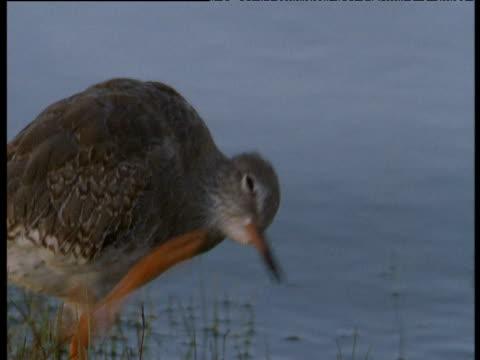 redshank scratches and walks off, western scotland - クサシギ属点の映像素材/bロール