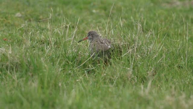 a redshank, tringa totanus, making a nest in the long grass in a field. - クサシギ属点の映像素材/bロール