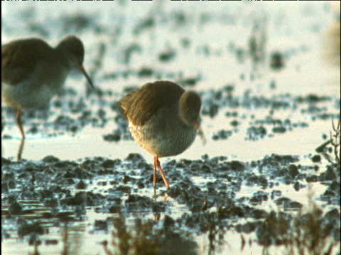 redshanks forage on mud flats - apparato digerente animale video stock e b–roll