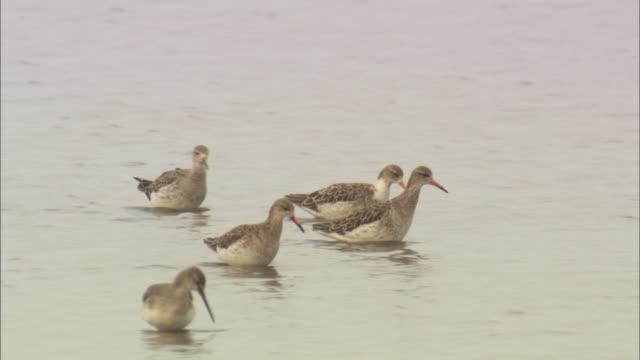 redshanks (tringa totanus) wading in marsh, norfolk, uk - クサシギ属点の映像素材/bロール