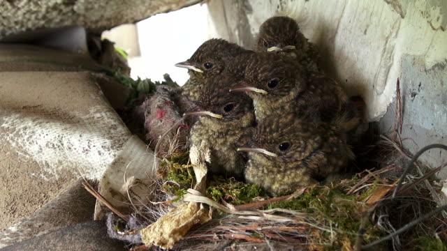 a redstart in a nest - nido di animale video stock e b–roll