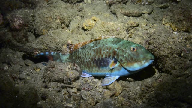 redtail parrotfish. - parrotfish stock videos & royalty-free footage