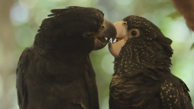 red-tailed black cockatoos use beaks to pass small stick to each other - ニューサウスウェールズ州点の映像素材/bロール