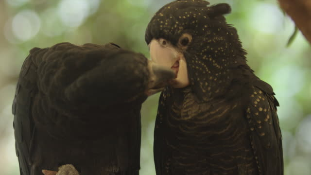 red-tailed black cockatoos use beaks to pass small stick to each other - black colour stock videos & royalty-free footage