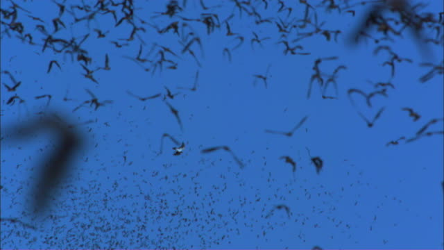 SLOMO WS Redtailed Hawk attacks and grabs Mexican Free Tailed Bat from huge flock filling foreground