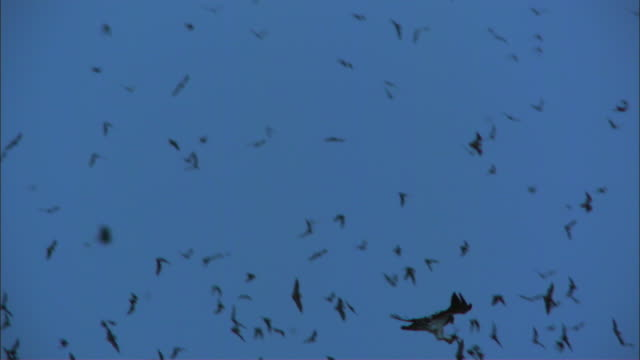 SLOMO WS Redtailed Hawk dives to grab Mexican Free Tailed Bat from huge flock