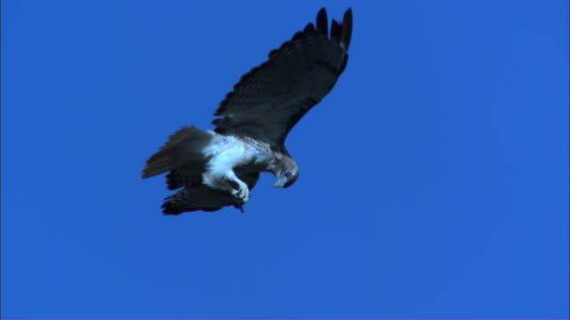slomo ms redtailed hawk gliding and eating mexican free tailed bat in its talons and huge flock in background - animal wing stock videos & royalty-free footage