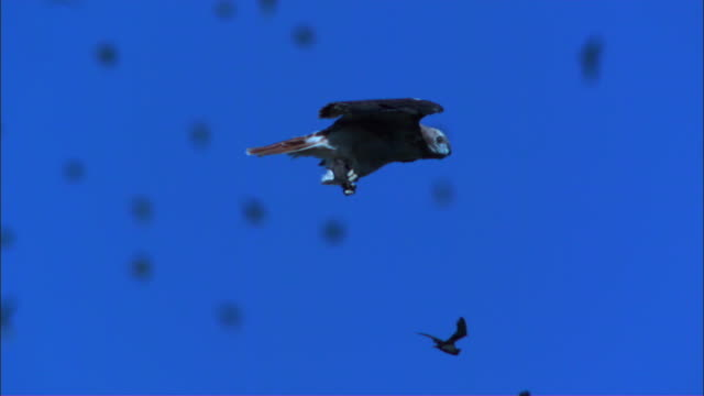 slomo ms redtailed hawk gliding with mexican free tailed bat in its talons and huge flock in background - bird of prey stock videos & royalty-free footage