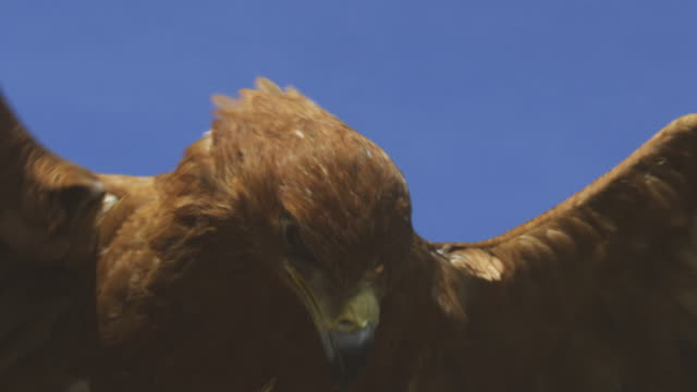 la cu redtailed hawk lands very close to camera - habicht stock-videos und b-roll-filmmaterial