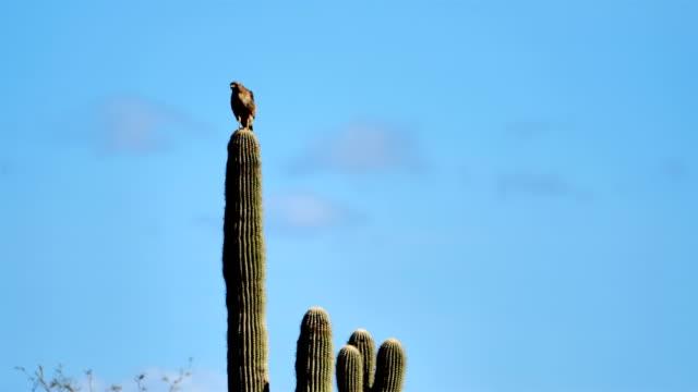 red-tailed hawk, tucson, arizona - sonoran desert stock videos & royalty-free footage