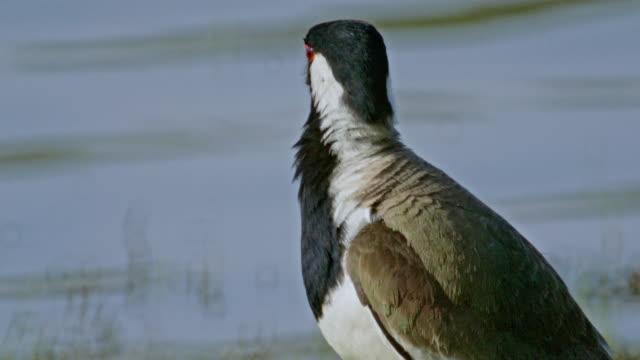 stockvideo's en b-roll-footage met red-wattled lapwing bird - water bird
