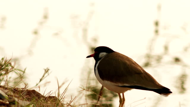 red-wattled lapwing near lake water - pond stock videos & royalty-free footage