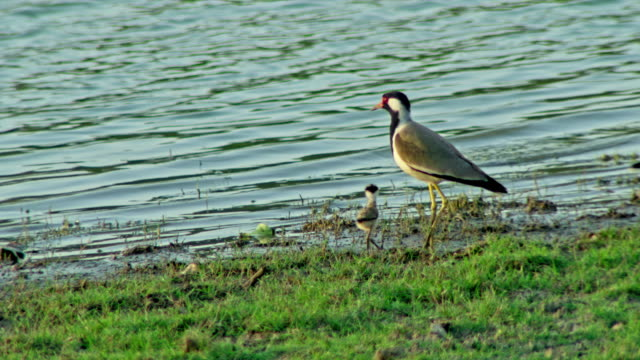 red-wattled lapwing - lakeshore stock videos & royalty-free footage