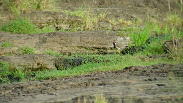 red-wattled lapwing - foraging stock videos & royalty-free footage
