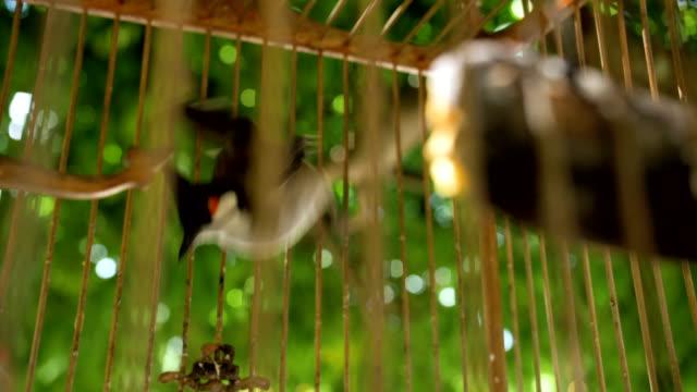 red-whiskered bulbul birds - gabbia per gli uccelli video stock e b–roll