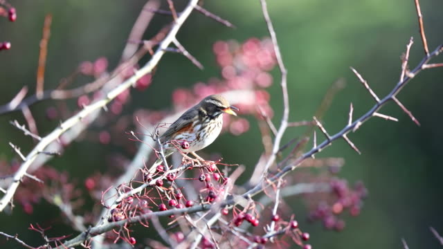 redwing (turdus iliacus) - songbird stock videos & royalty-free footage