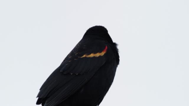 red-winged blackbird against grey sky - rotschulterstärling stock-videos und b-roll-filmmaterial