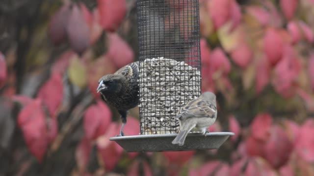 red-winged blackbird and sparrows on a bird feeder - rotschulterstärling stock-videos und b-roll-filmmaterial