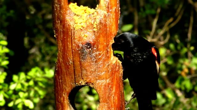 red-winged blackbird im feeder - rotschulterstärling stock-videos und b-roll-filmmaterial