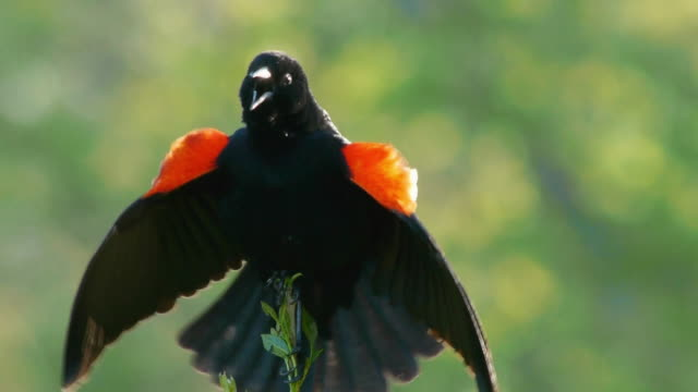 cu red-winged blackbird, courting song and actions - rotschulterstärling stock-videos und b-roll-filmmaterial