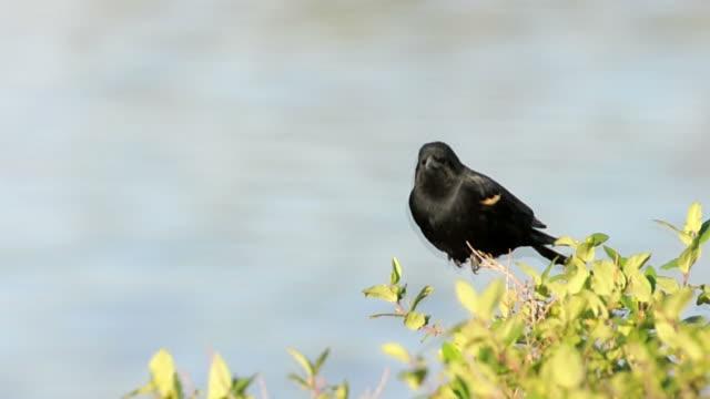 red-winged blackbird alter song - rotschulterstärling stock-videos und b-roll-filmmaterial