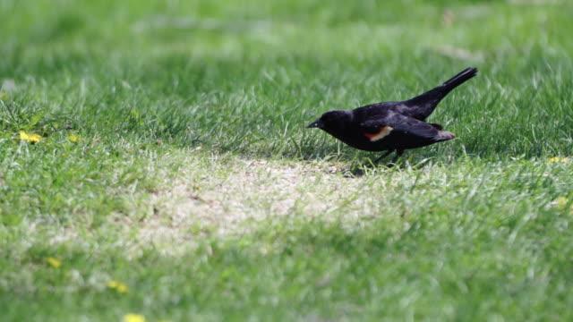 red-winged blackbird eating in park - rotschulterstärling stock-videos und b-roll-filmmaterial
