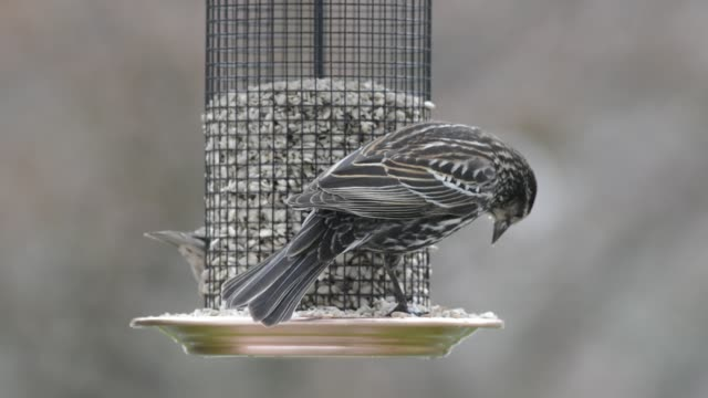 red-winged blackbird eating sunflower seeds - ハゴロモガラス点の映像素材/bロール
