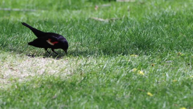 red-winged blackbird eats in park - rotschulterstärling stock-videos und b-roll-filmmaterial