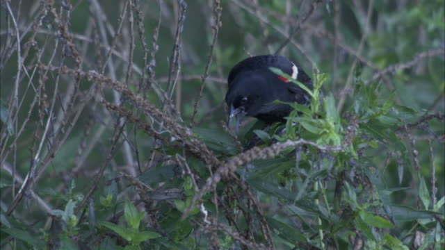 a red-winged blackbird forages in a thicket. - red winged blackbird stock videos & royalty-free footage