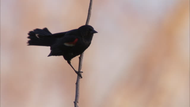 a red-winged blackbird hangs onto a slender twig and chirps. - red winged blackbird stock videos & royalty-free footage