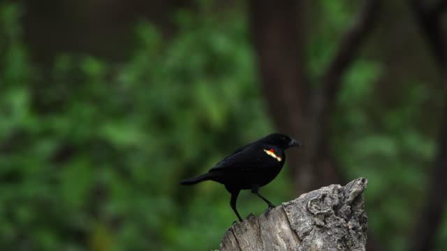 red-winged blackbird landing on stump, lower rio grande valley - red winged blackbird stock videos & royalty-free footage