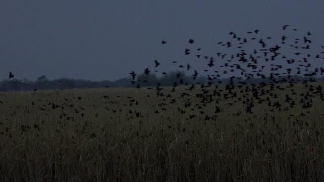 red-winged blackbird, lower rio grande valley - rotschulterstärling stock-videos und b-roll-filmmaterial