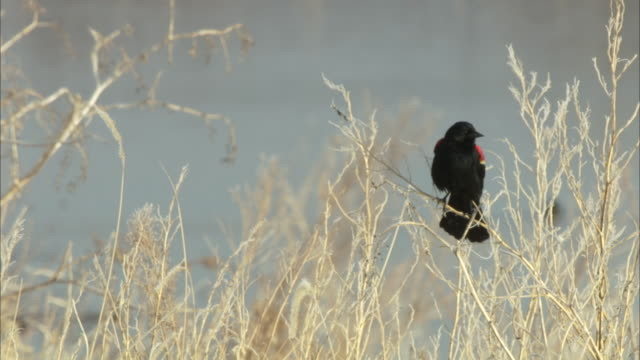 a red-winged blackbird rests on tall grass stems. - red winged blackbird stock videos & royalty-free footage