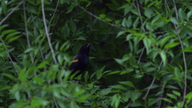 red-winged blackbird taking off from branch - rotschulterstärling stock-videos und b-roll-filmmaterial