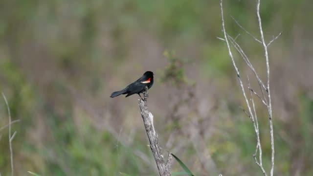 red-winged blackbird - rotschulterstärling stock-videos und b-roll-filmmaterial
