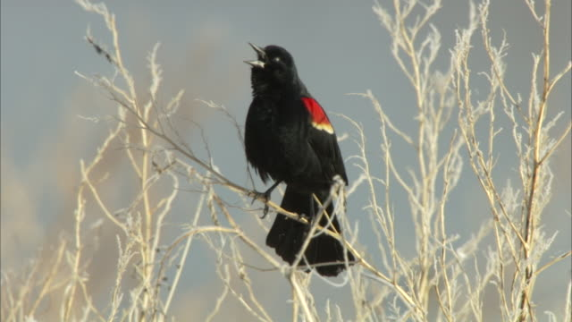 vídeos y material grabado en eventos de stock de a red-winged blackbird vocalizes while resting on barren grass stems. - red winged blackbird