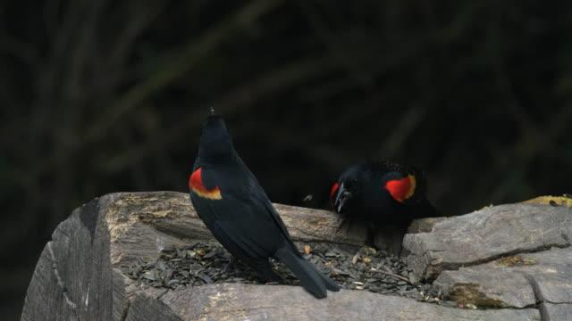 red-winged blackbirds feeding on seeds - rotschulterstärling stock-videos und b-roll-filmmaterial