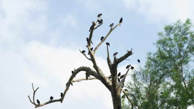 red-winged blackbirds perching in dead tree - rotschulterstärling stock-videos und b-roll-filmmaterial