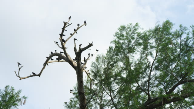 red-winged blackbirds perching in dead tree - red winged blackbird stock videos & royalty-free footage