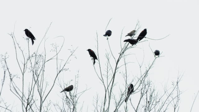 red-winged blackbirds perching on branches - red winged blackbird stock videos & royalty-free footage