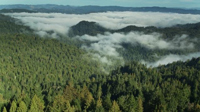 stockvideo's en b-roll-footage met redwood forest gedekt door fog-achteruit drone shot - sequoiafamilie