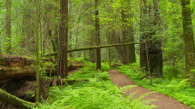Redwood forest in Humboldt State Park, CA