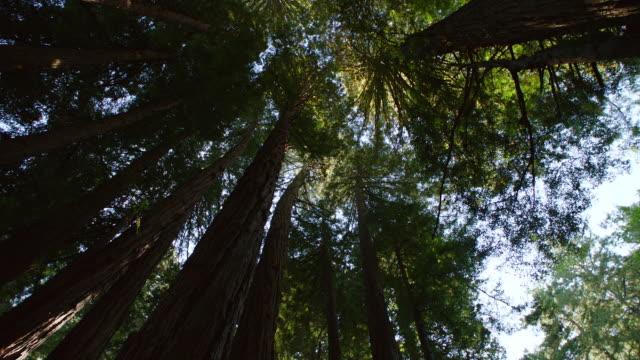 vidéos et rushes de ms tu redwood forest,  muir woods - tronc d'arbre